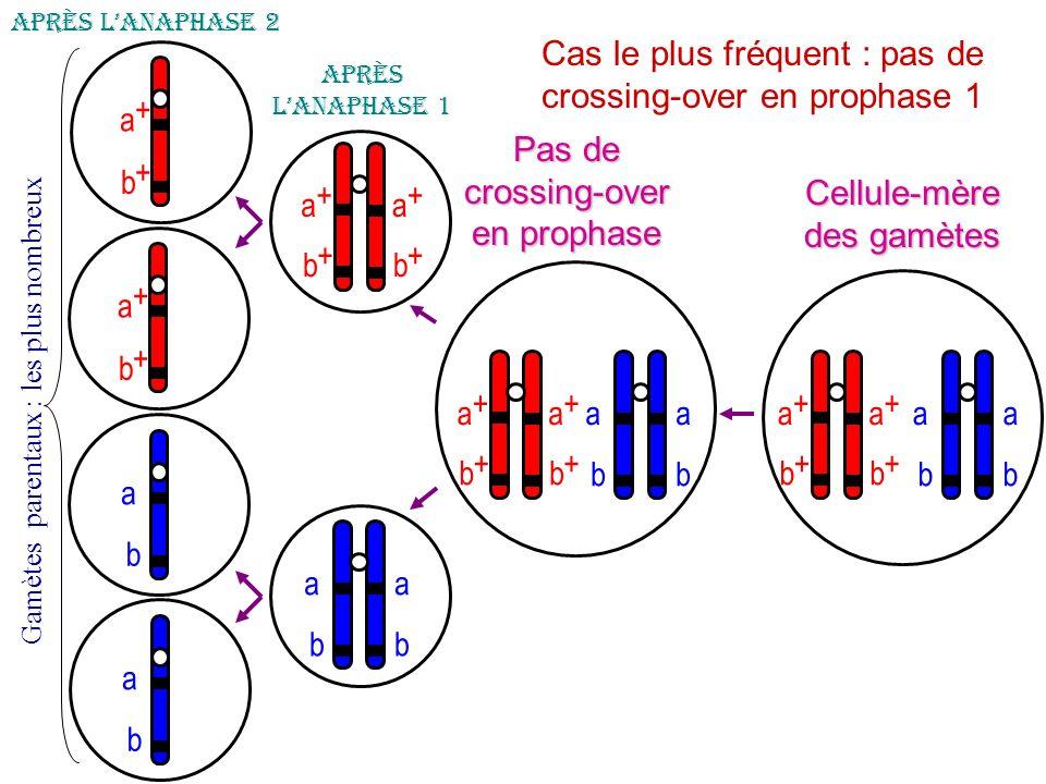 a b a b a + b + a + b + Cellule-mère des gamètes Pas de crossing-over en prophase 1 Après lanaphase 1 a + b + a b Après lanaphase 2 G a m è t e s p a