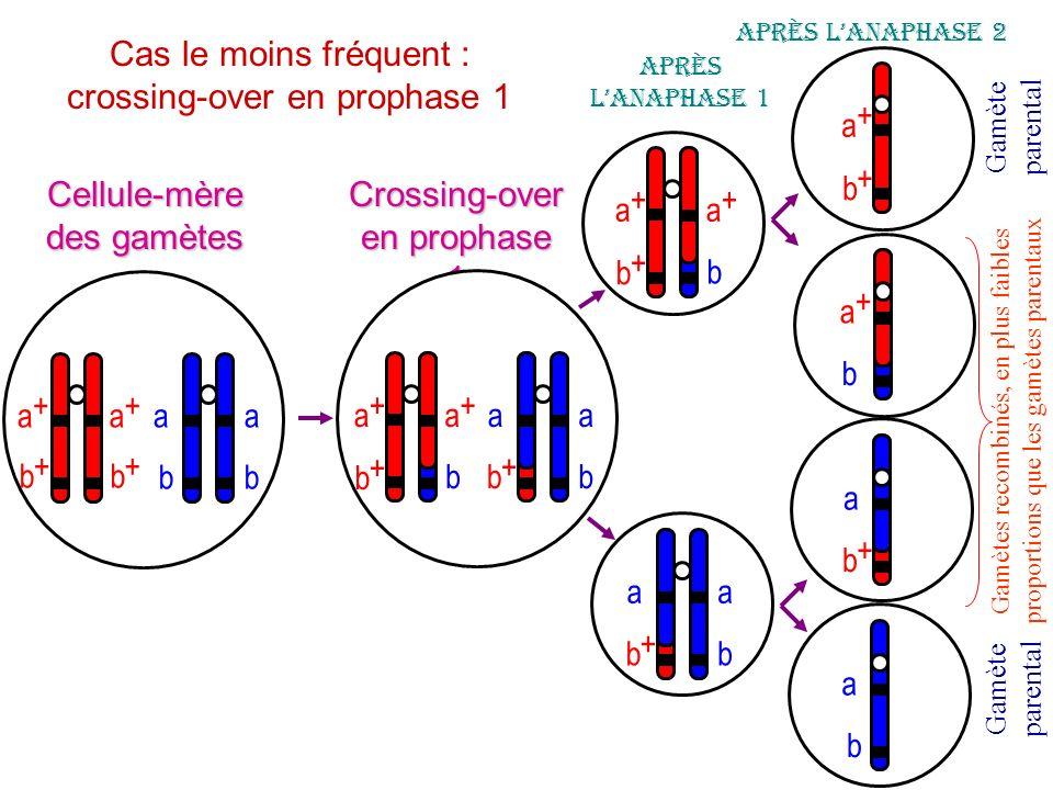 a b a b a + b + a + b + Cellule-mère des gamètes Crossing-over en prophase 1 a + a + b + b aa b a + b + a + b + b aa bb + Après lanaphase 1 a + b + a