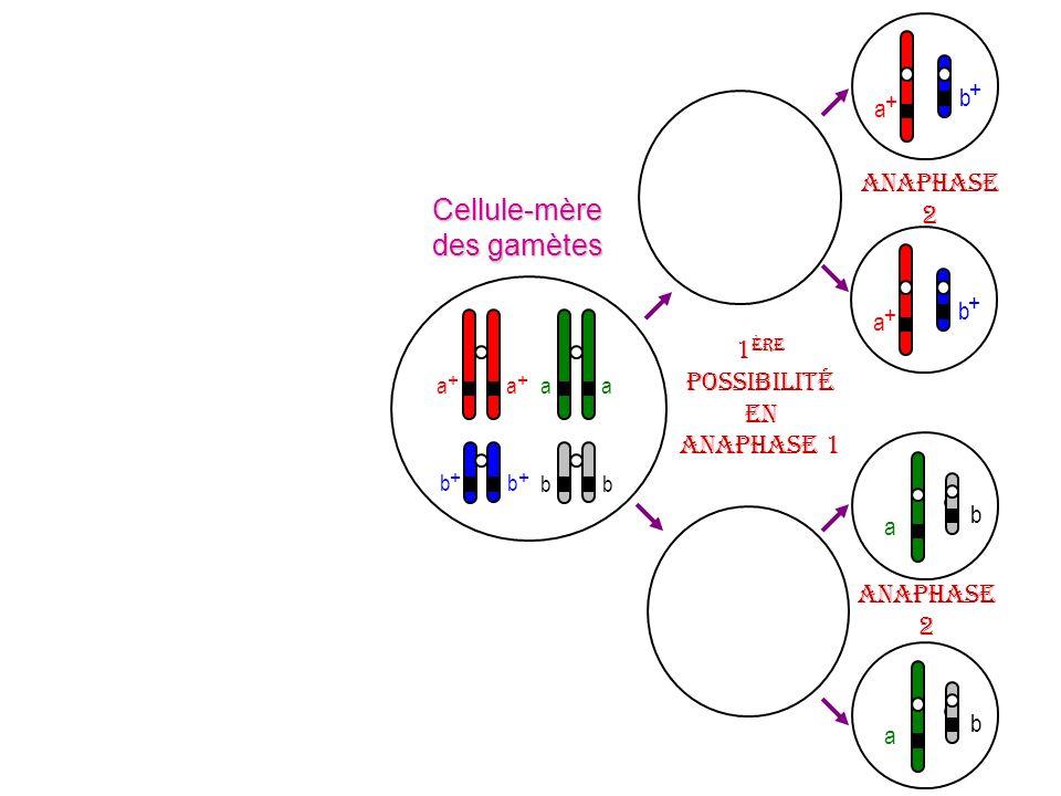 a + b + a + b + b a b a Cellule-mère des gamètes 1 ère possibilité en anaphase 1 a + a + b + b + aa bb Anaphase 2 Anaphase 2