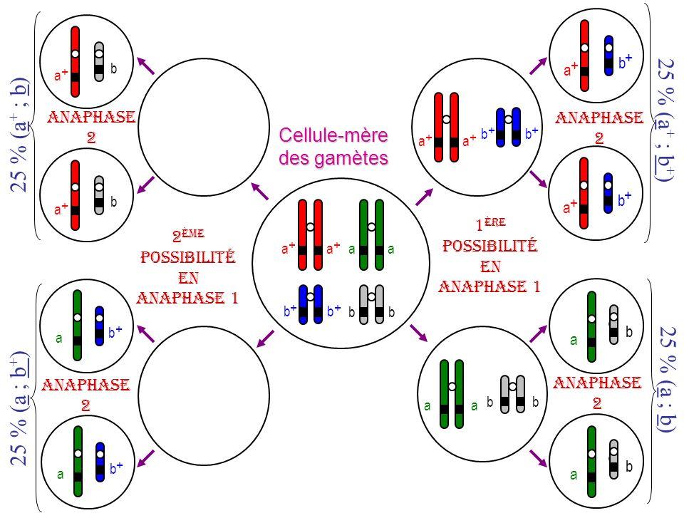 a b + a b + b a + b a + Cellule-mère des gamètes b + b + aa bb a + a + b + b + a + b + a + b + aa bb b a b a 1 ère possibilité en anaphase 1 Anaphase