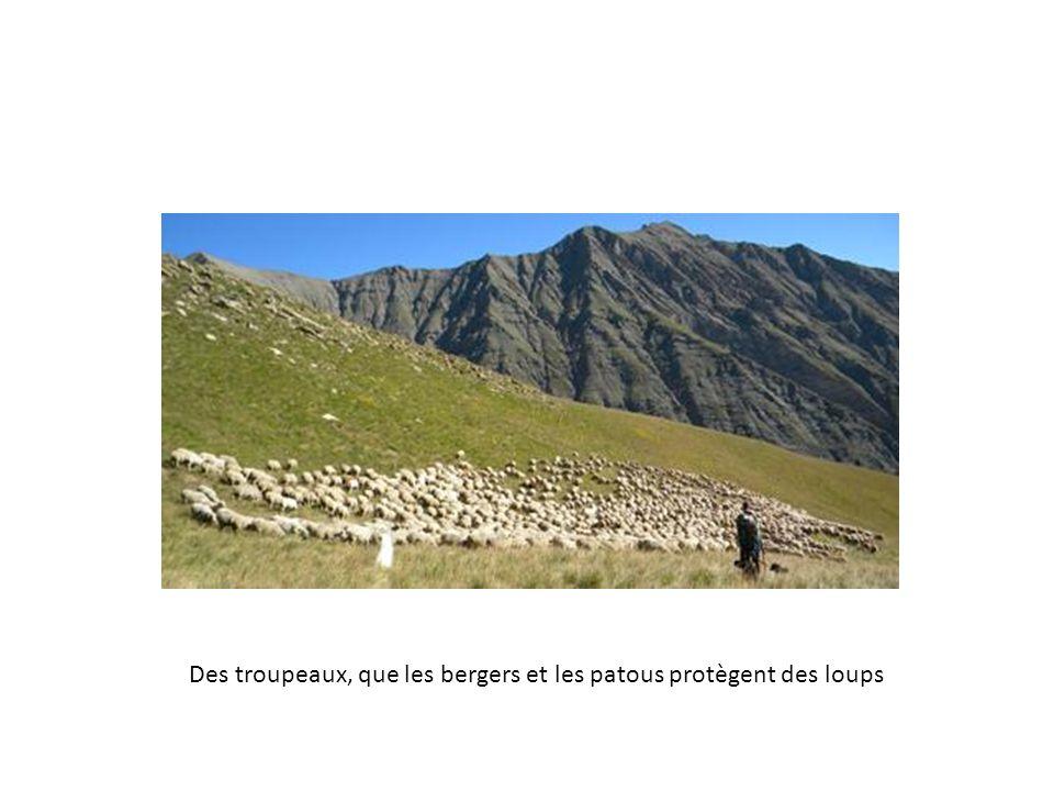 Des troupeaux, que les bergers et les patous protègent des loups