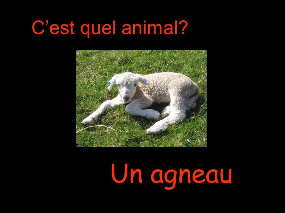 Cest quel animal Un agneau
