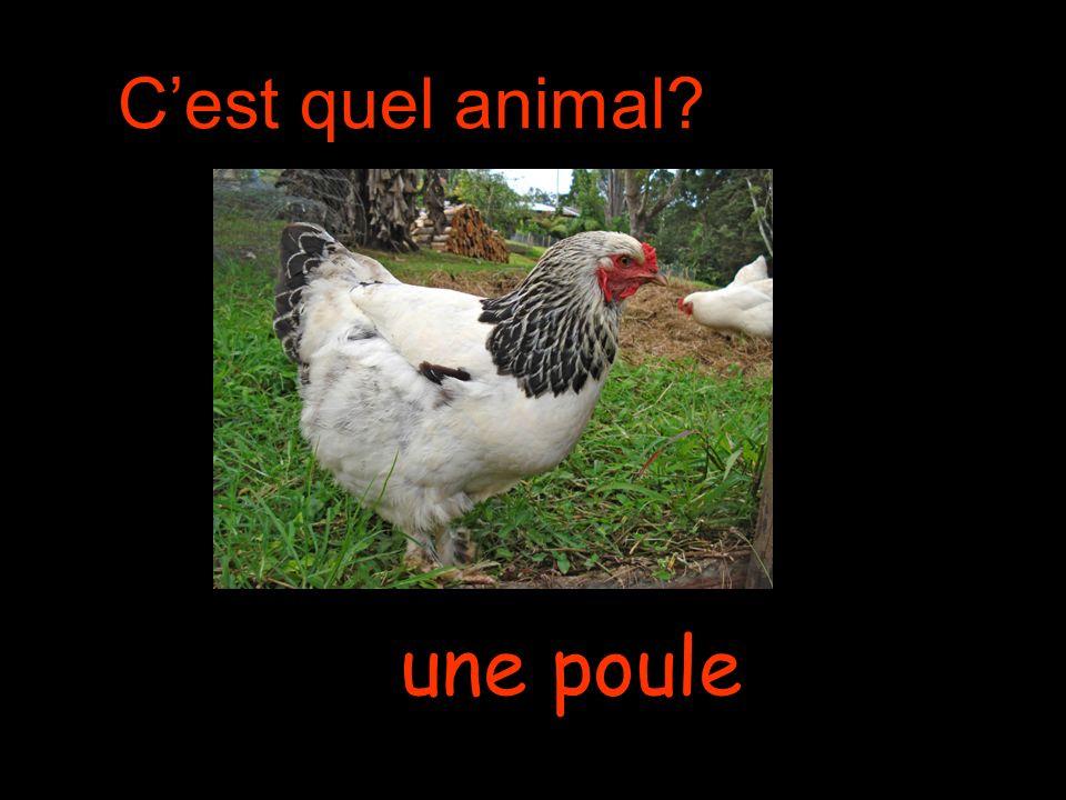 Cest quel animal une poule