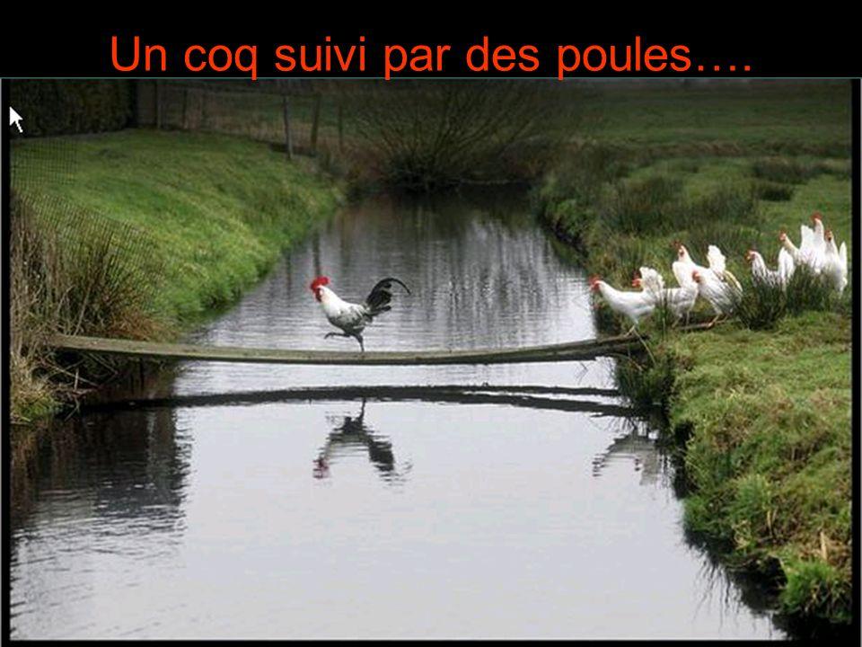 Un coq suivi par des poules….