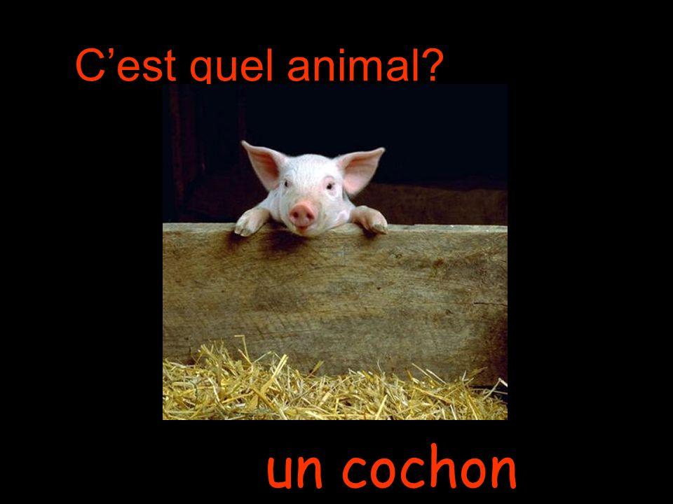 Cest quel animal un cochon