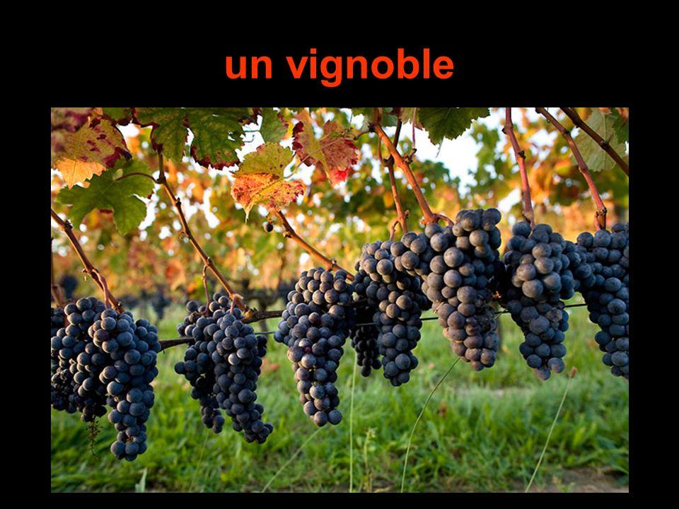 un vignoble