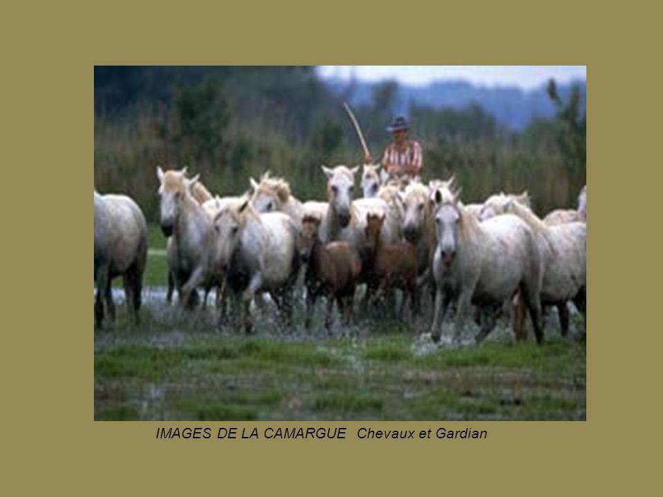 Images de Camargue Taureaux en manade