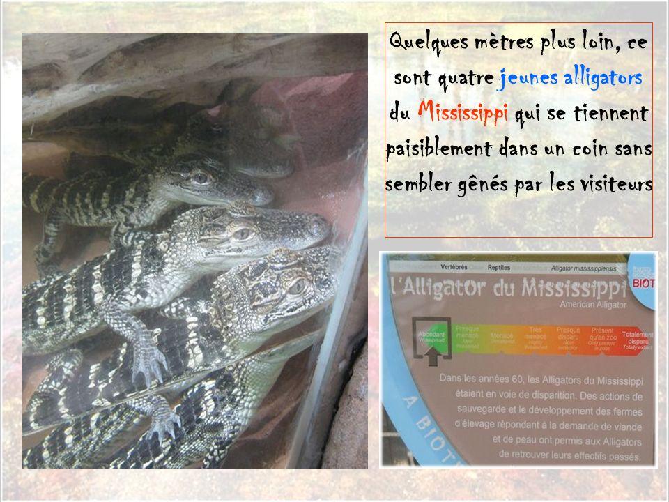 Si elle est moins experte en camouflage, il faut tout de même se méfier de cette grenouille 'terrible' qui est l'une des espèces animales les plus ven