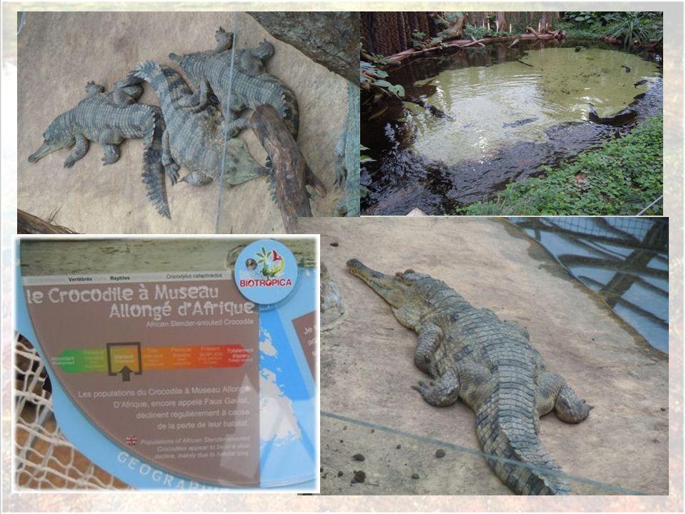 Cette pause faite, la visite peut reprendre en toute tranquillité et de la meilleure des manières : avec ces deux femelles alligators du Mississippi q
