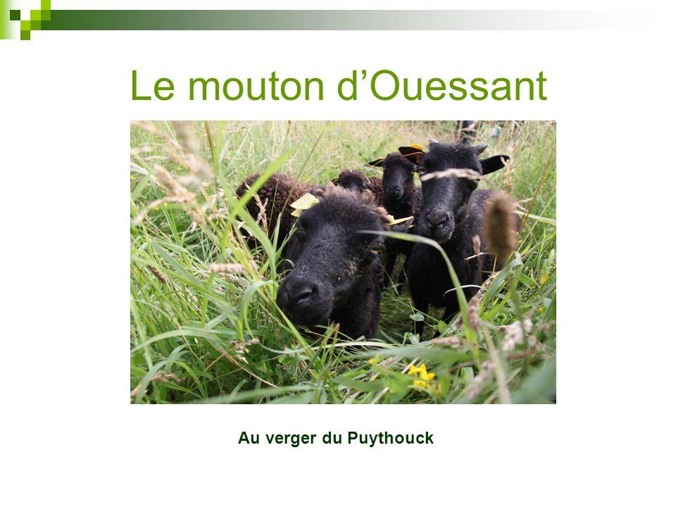 Le mouton dOuessant Au verger du Puythouck