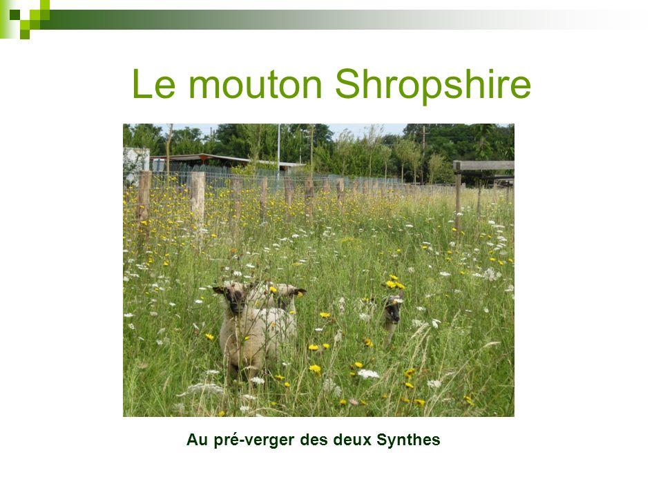 Le mouton Shropshire Au pré-verger des deux Synthes