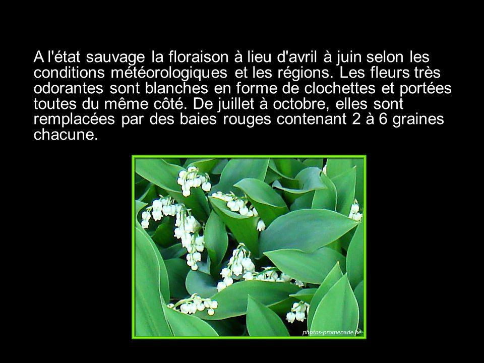 A l'état sauvage la floraison à lieu d'avril à juin selon les conditions météorologiques et les régions. Les fleurs très odorantes sont blanches en fo
