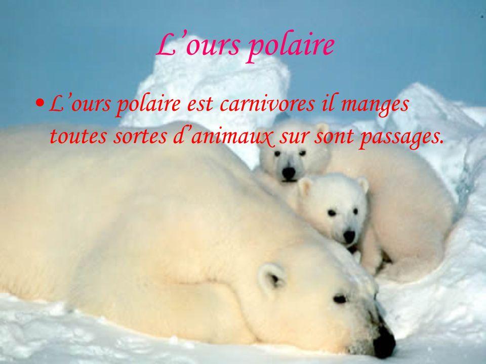 Lours polaire Lours polaire est carnivores il manges toutes sortes danimaux sur sont passages.