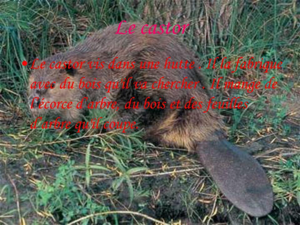 Le castor Le castor vis dans une hutte.Il la fabrique avec du bois qu il va chercher.