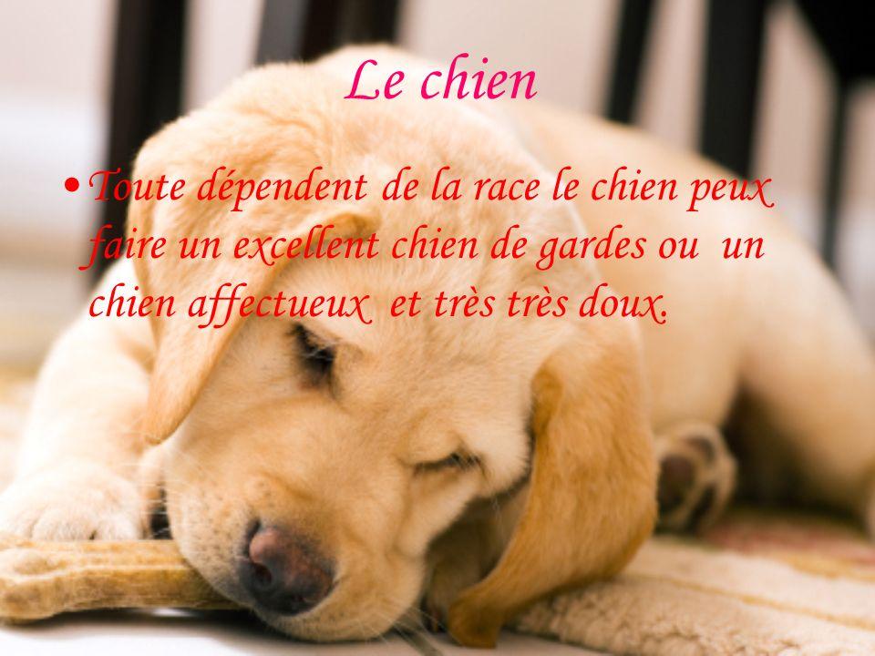 Le chien Toute dépendent de la race le chien peux faire un excellent chien de gardes ou un chien affectueux et très très doux.