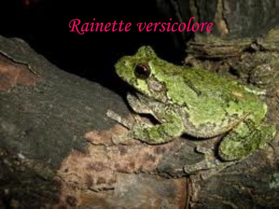 Rainette versicolore