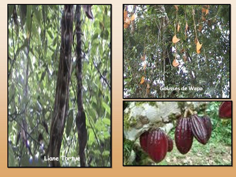 Acajou à larges feuilles Andiroba Kapokier Arbre à painArbre à noix