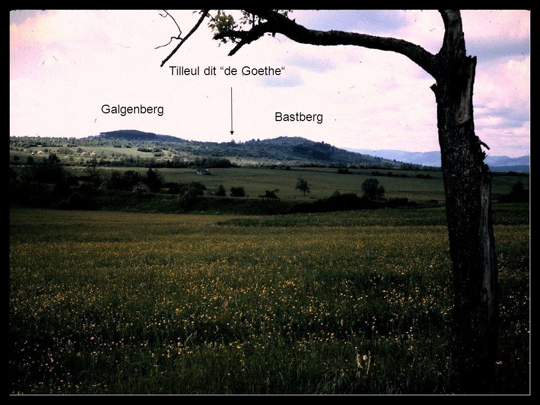 Bastberg Galgenberg Tilleul de Goethe Tille Bastberg Galgenberg Tilleul dit de Goethe