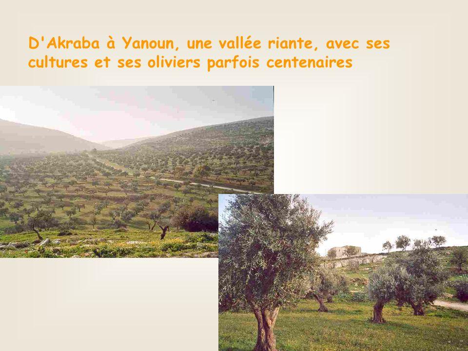 D Akraba à Yanoun, une vallée riante, avec ses cultures et ses oliviers parfois centenaires