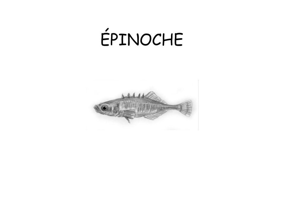 ÉPINOCHE
