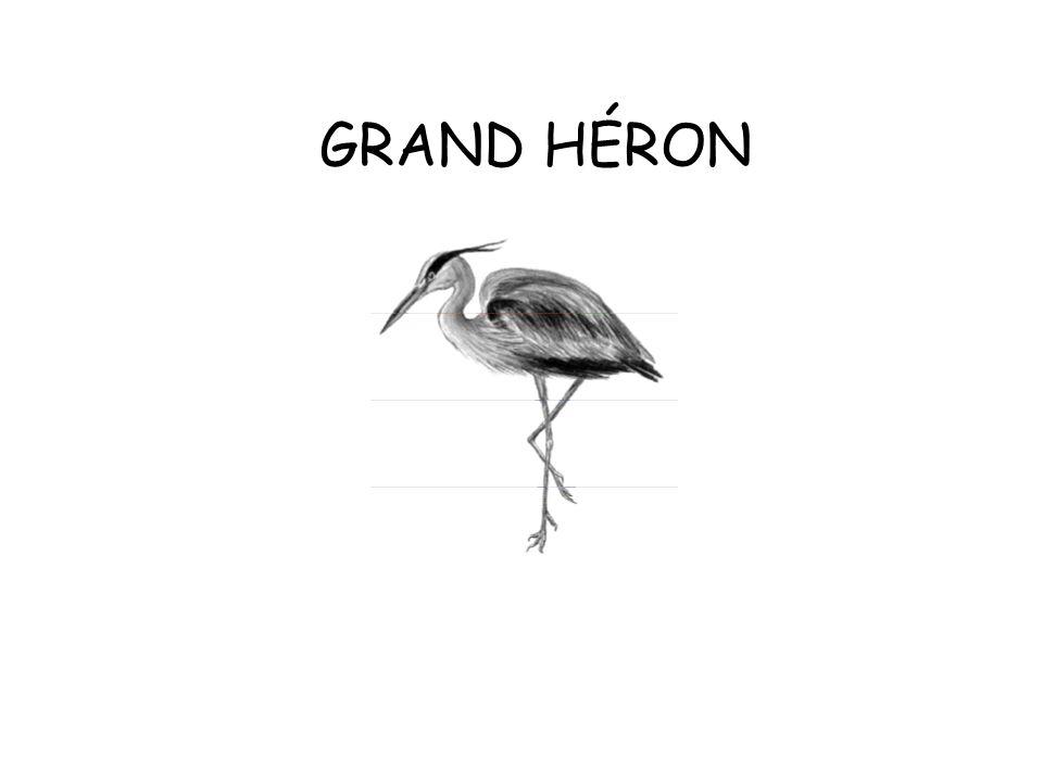 GRAND HÉRON