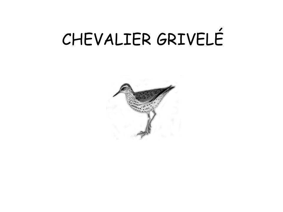 CHEVALIER GRIVELÉ