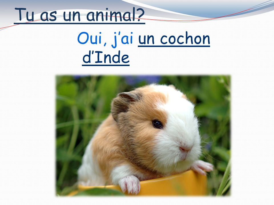 Tu as un animal Oui, jai un hamster