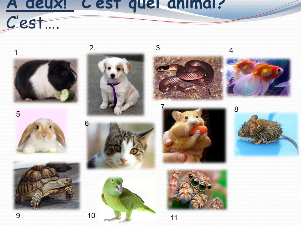 As-tu un animal 1. Oui, j ai un cochon dInde 1 23 4 5 6 7 8 910 11 12.
