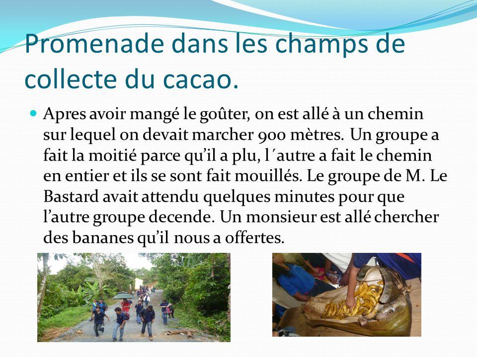 Promenade dans les champs de collecte du cacao.