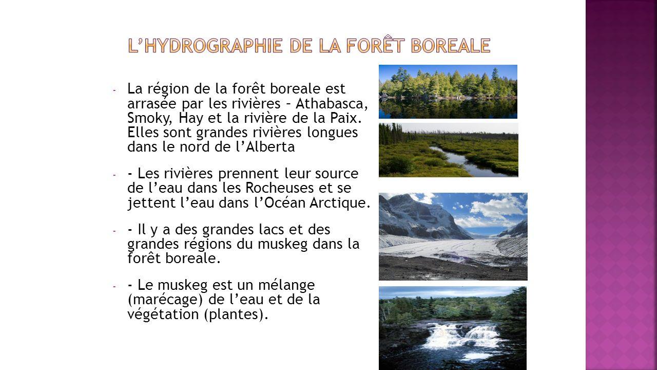 - La région de la forêt boreale est arrasée par les rivières – Athabasca, Smoky, Hay et la rivière de la Paix. Elles sont grandes rivières longues dan