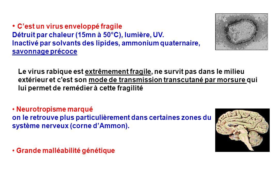 Cest un virus enveloppé fragile Détruit par chaleur (15mn à 50°C), lumière, UV. Inactivé par solvants des lipides, ammonium quaternaire, savonnage pré