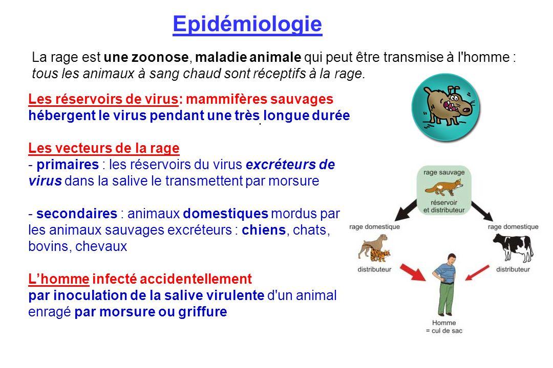 Les réservoirs de virus: mammifères sauvages hébergent le virus pendant une très longue durée Les vecteurs de la rage - primaires : les réservoirs du