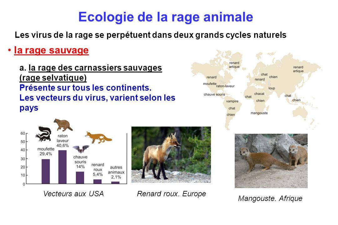 Ecologie de la rage animale Les virus de la rage se perpétuent dans deux grands cycles naturels a. la rage des carnassiers sauvages (rage selvatique)