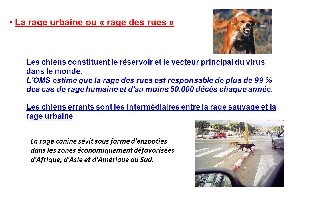 La rage urbaine ou « rage des rues » Les chiens constituent le réservoir et le vecteur principal du virus dans le monde. L'OMS estime que la rage des