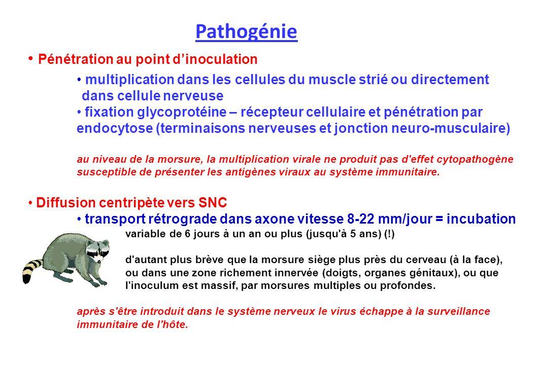 Pénétration au point dinoculation multiplication dans les cellules du muscle strié ou directement dans cellule nerveuse fixation glycoprotéine – récep