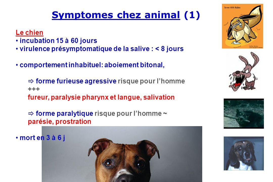 Le chien incubation 15 à 60 jours virulence présymptomatique de la salive : < 8 jours comportement inhabituel: aboiement bitonal, forme furieuse agres