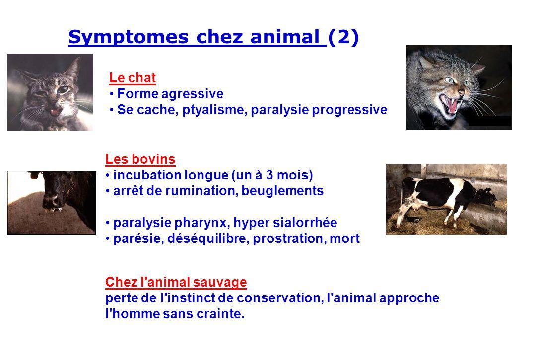 Les bovins incubation longue (un à 3 mois) arrêt de rumination, beuglements paralysie pharynx, hyper sialorrhée parésie, déséquilibre, prostration, mo
