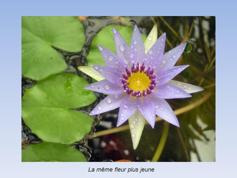 La même fleur plus jeune