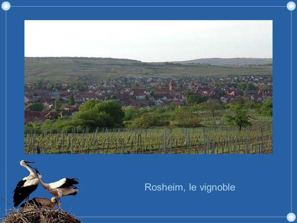 Rosheim est une ville fleurie située entre les Vosges moyennes, le vignoble et la plaine dAlsace. Au sommet du Westerberg, le vignoble par excellence,