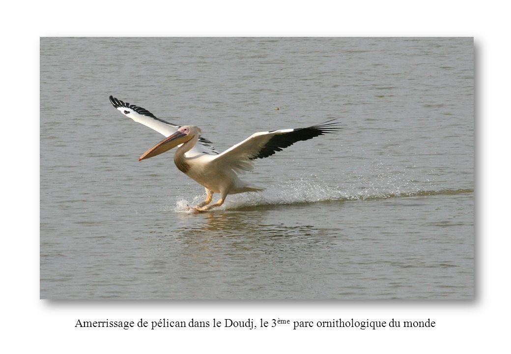 Amerrissage de pélican dans le Doudj, le 3 ème parc ornithologique du monde