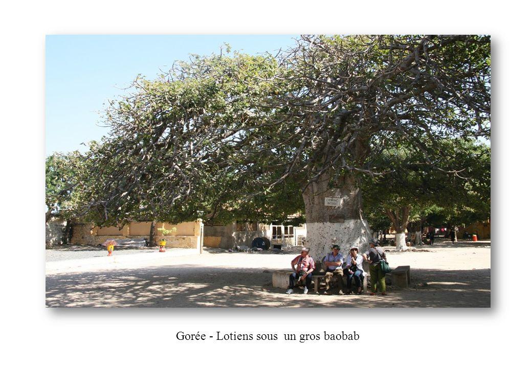 Gorée - Lotiens sous un gros baobab