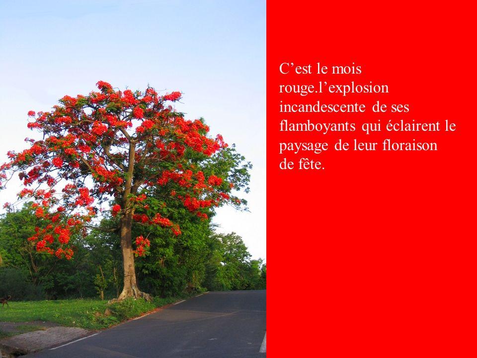Cest le mois rouge.lexplosion incandescente de ses flamboyants qui éclairent le paysage de leur floraison de fête.