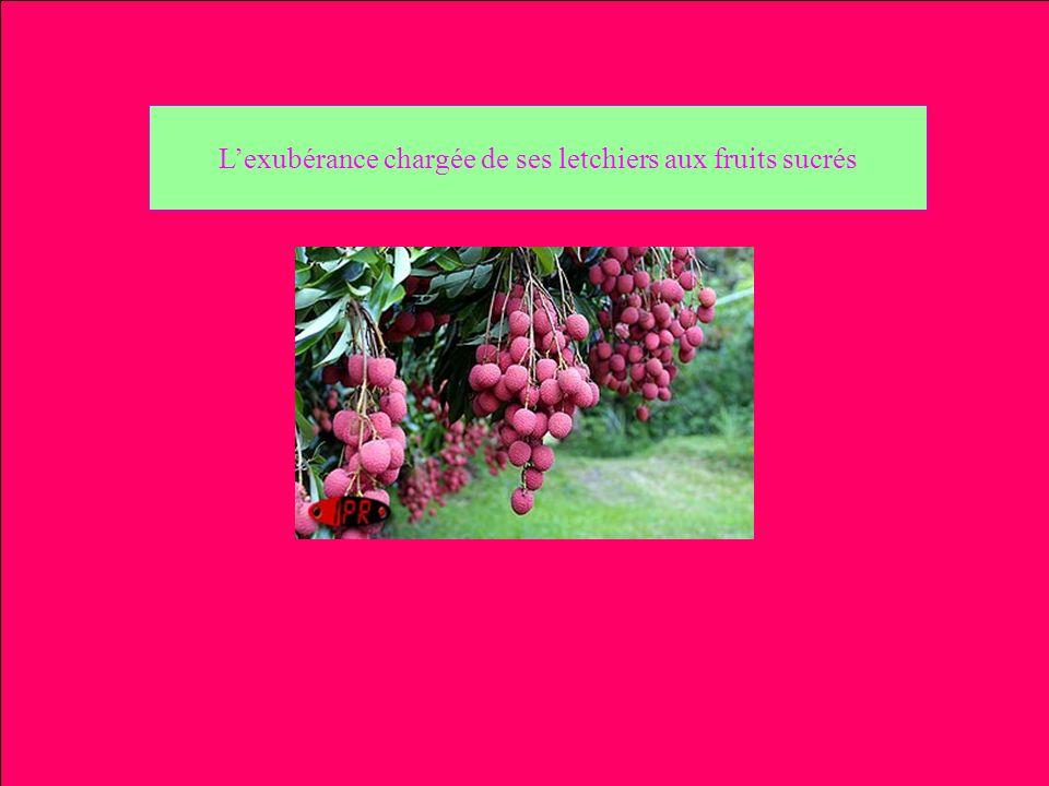 Lexubérance chargée de ses letchiers aux fruits sucrés