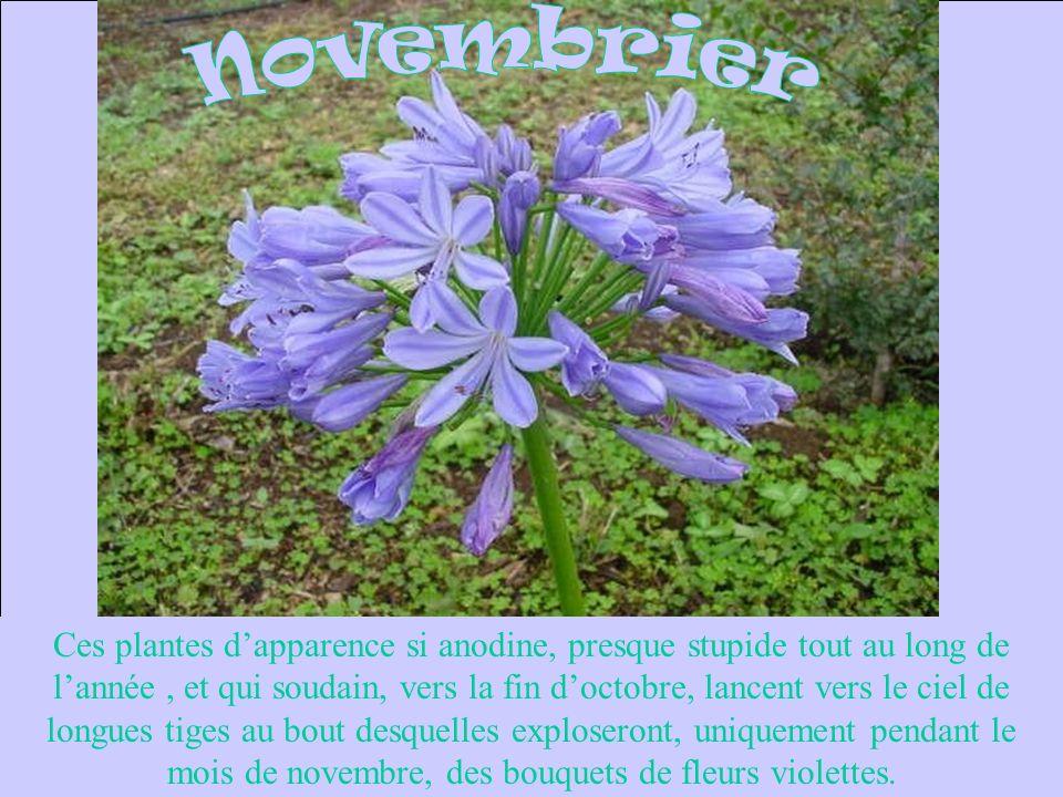 Ces plantes dapparence si anodine, presque stupide tout au long de lannée, et qui soudain, vers la fin doctobre, lancent vers le ciel de longues tiges au bout desquelles exploseront, uniquement pendant le mois de novembre, des bouquets de fleurs violettes.