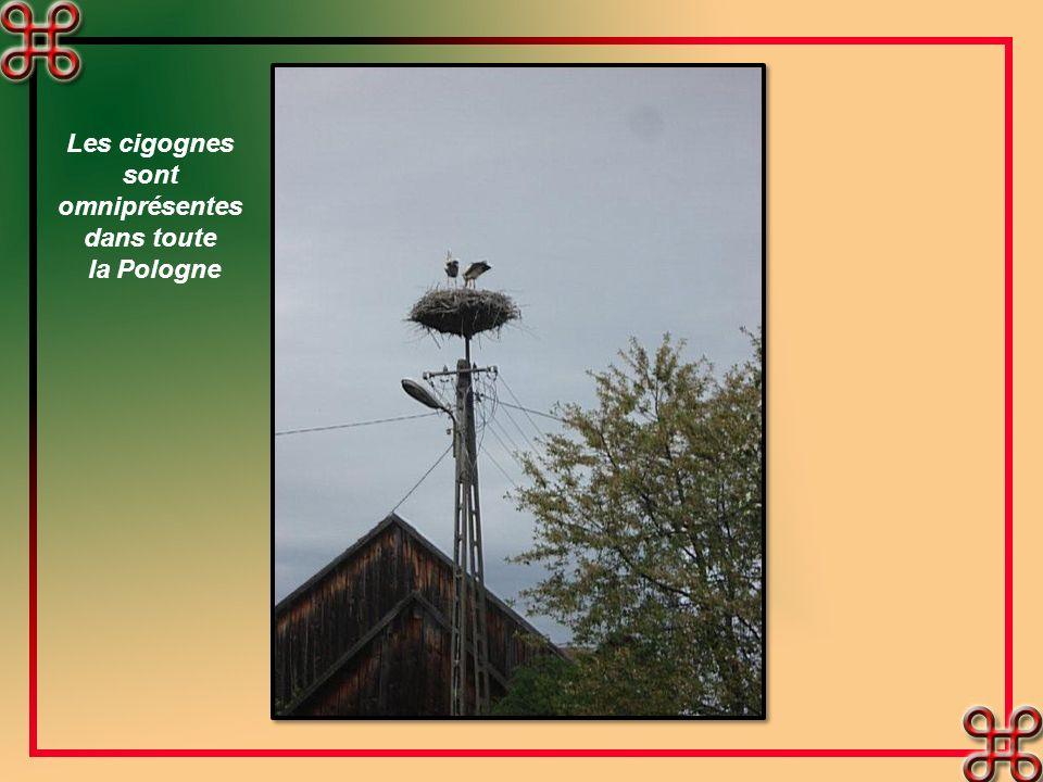 Les cigognes sont omniprésentes dans toute la Pologne