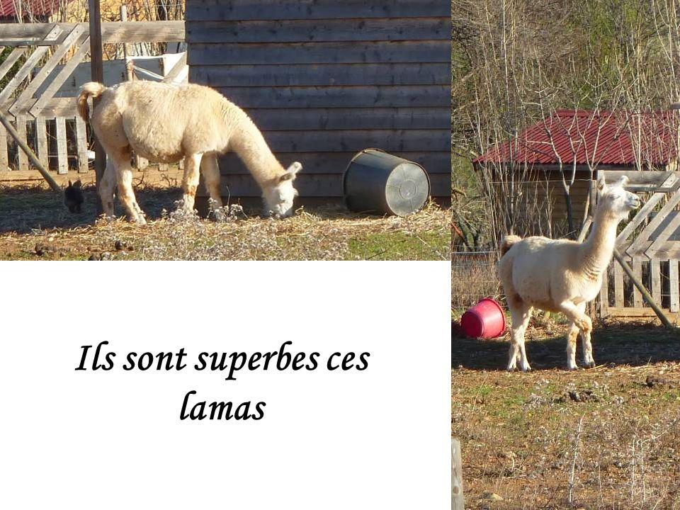 Elevage de lamas