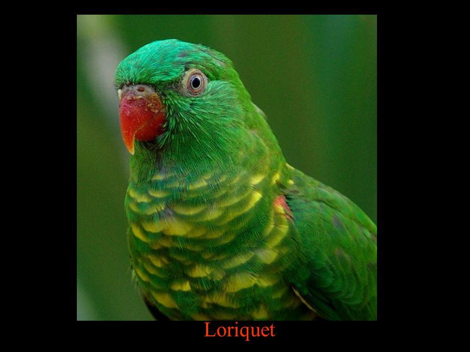 Loriquet