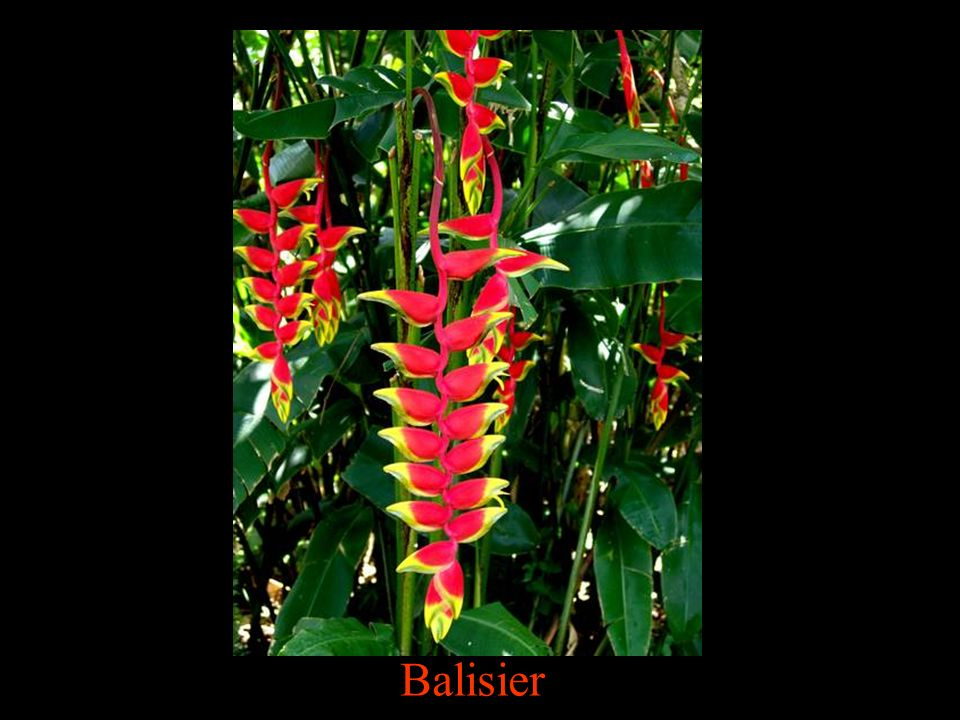 Balisier