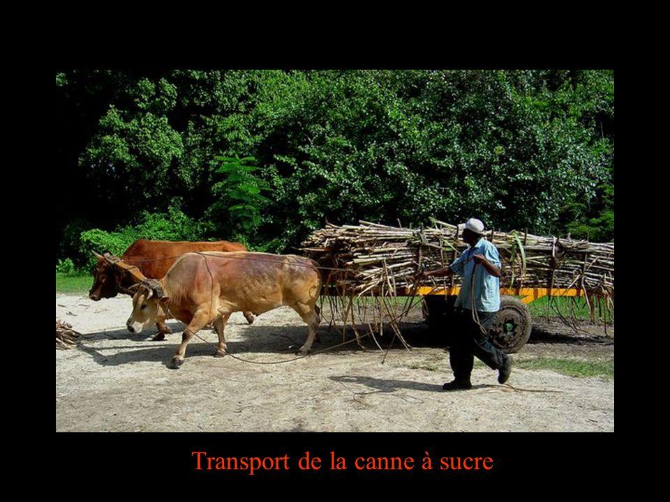 Transport de la canne à sucre