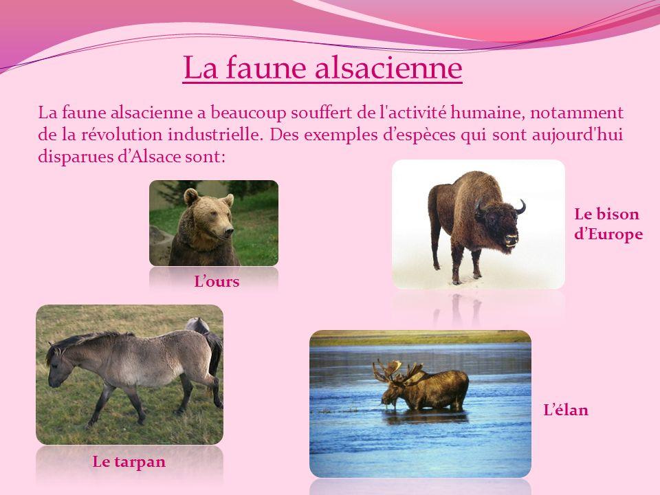 La faune alsacienne Lours La faune alsacienne a beaucoup souffert de l activité humaine, notamment de la révolution industrielle.